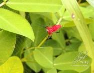 Araña roja (Alcimosphenus licinus), río Tanama
