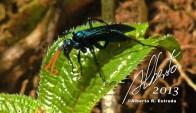 Avispa azul — en Cordillera Central Puerto Rico.