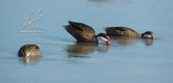 Patos Quijada Colorada en Cabo Rojo
