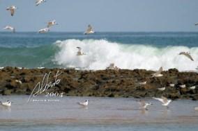 Gaviotas y olas en Piñones.