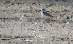 Chorlitos Blancos