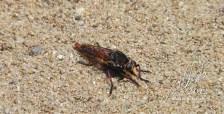 Mosca depredadora — en Reserva Natural Humacao.