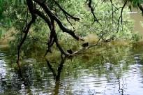 Коряга