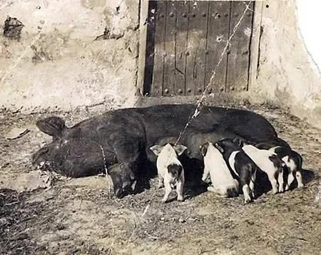 Ejemplo de lo que ocurría en Canarias con los cerdos: mestizaje de razas llegadas de fuera como se ve en esos lechones pintos. | JOSEFA CALERO En ARCHIVO C. GUTIÉRREZ