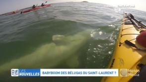 """Résultat de recherche d'images pour """"belugas saint laurent"""""""