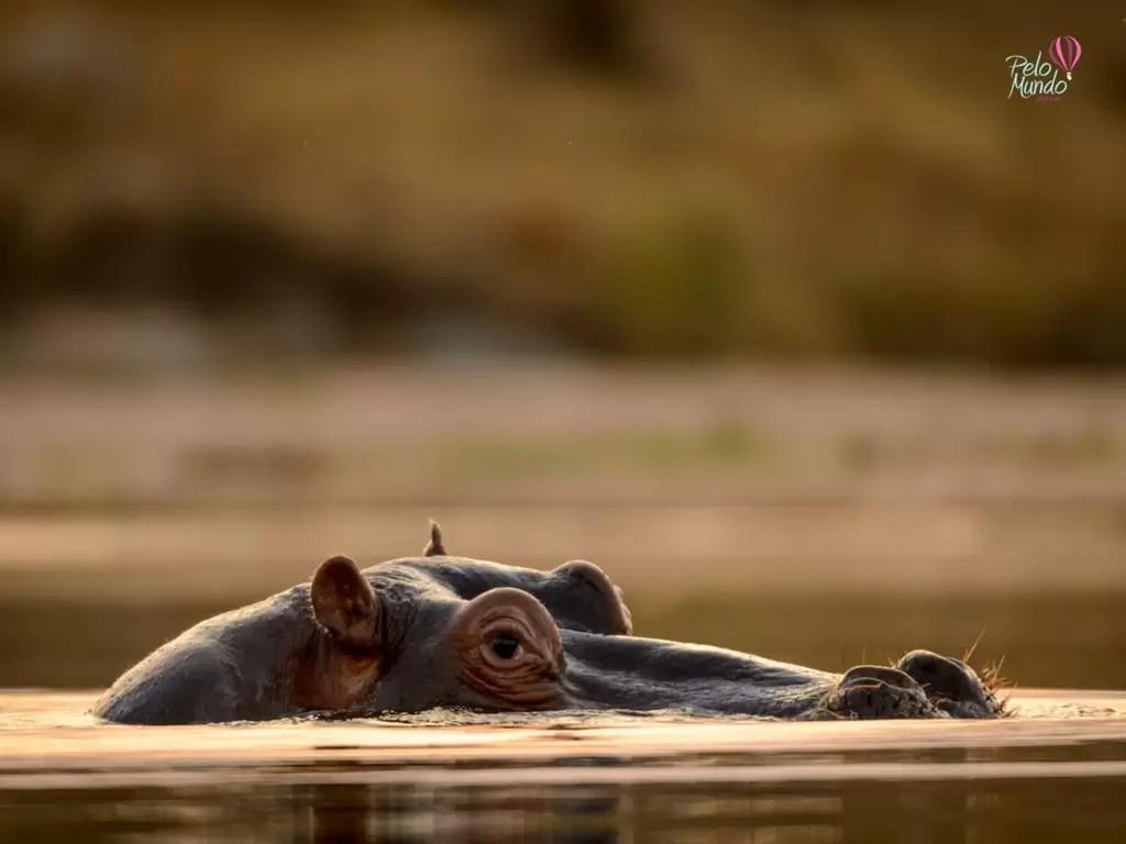 Hipopotamos nadando no Kruger Parque