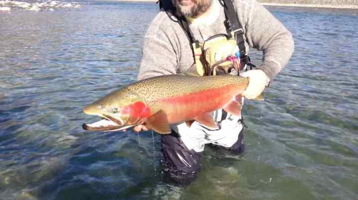 Huge Steelhead fly fishing BC