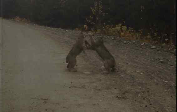 Lynx fighting