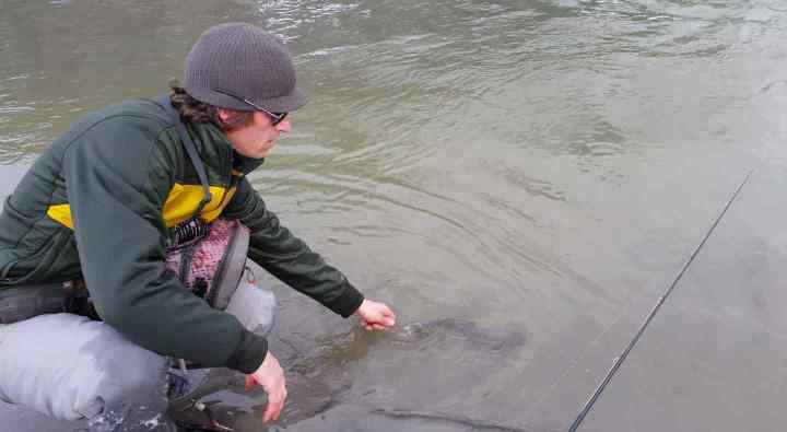 Releasing a Bull Trout