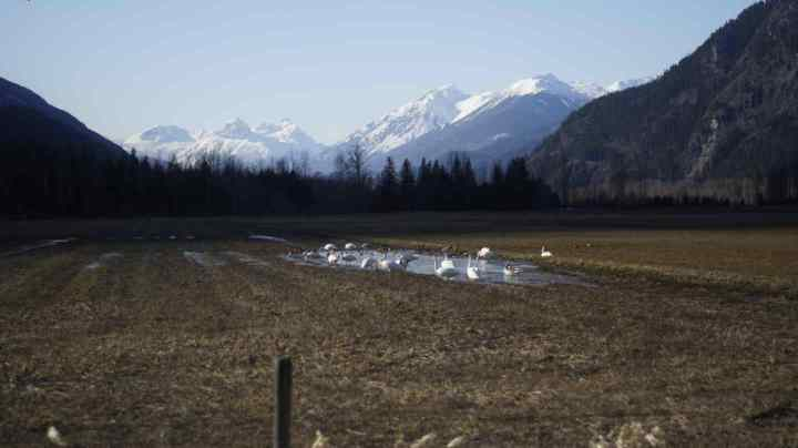 A field full of Swans on our way to the Lillooet River