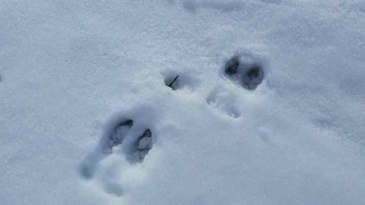 Moose tracks in the snow along the shoreline