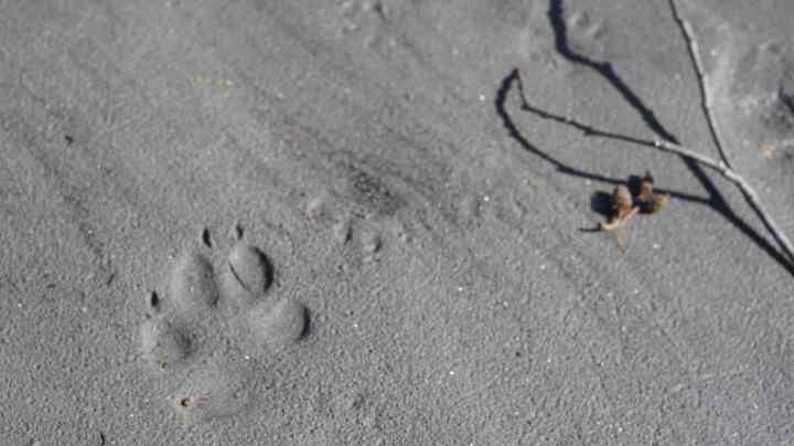 Wildlife tracks along the shoreline of the Lillooet River
