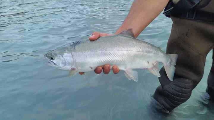 Pink Salmon Fishing Guides