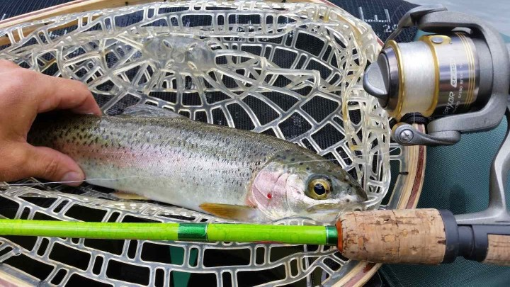 Spin Fishing for Rainbow Trout