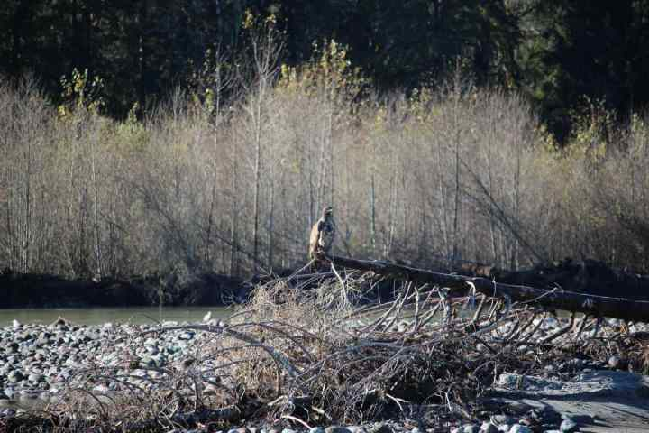 Eagle on the Squamish River