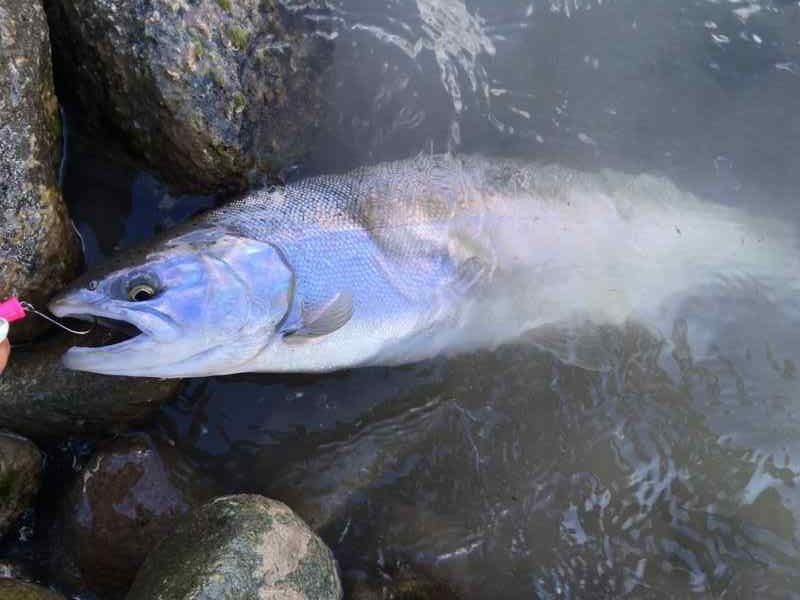 Cheakamus River fishing report