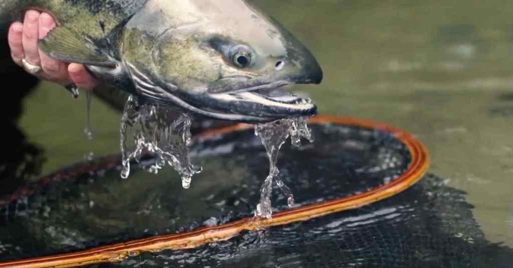 Salmon fly fishing video