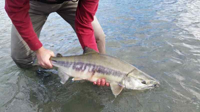 Chum Salmon Fishing in Squamish
