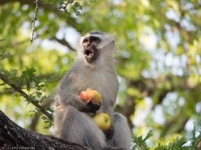 Vervet Monkey, Londolozi