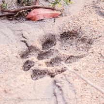 leopard or lion track