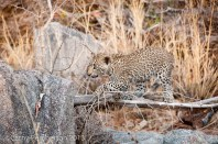 Leopard Cubs, Londolozi