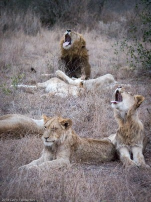 Yawning is contagious.