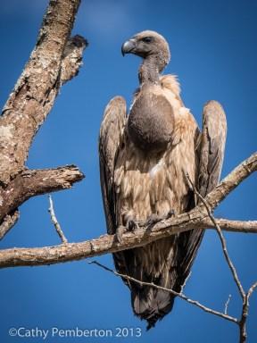 Vulture, Mala Mala