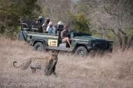 Leopard, rhino carcass, dead, poaching, Mala Mala