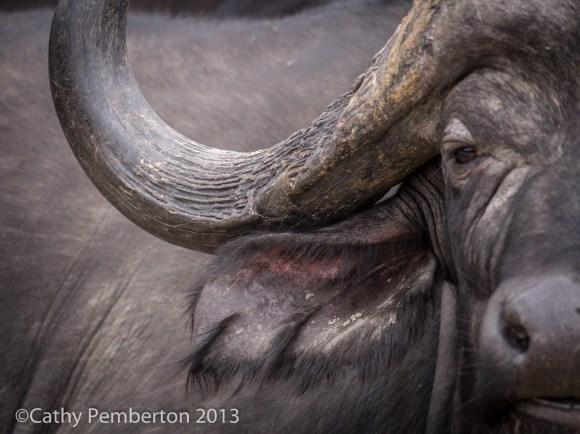 Cape Buffalo, Mala Mala