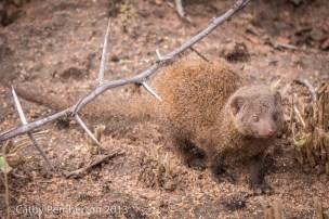 dwarf mongoose, Mala Mala