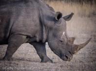 Rhino, Mala Mala