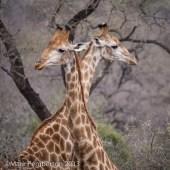 Giraffe, Mala Mala