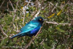 Greater Blue-eared Starling, Mala Mala