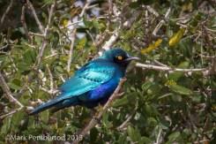 Greater Blue-eared Starling, Mala Mala