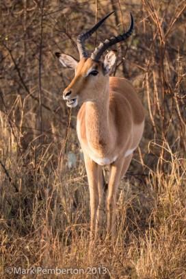 Impala, Mala Mala