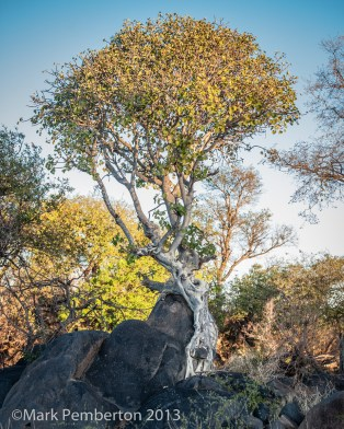 Large-leaved Rock Fig Tree