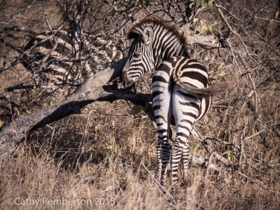 Zebra, King's Camp