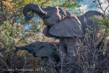 elephant, King's Camp
