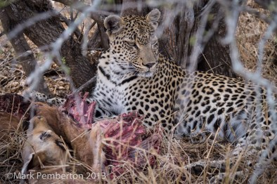 Leopard with kill, King's Camp