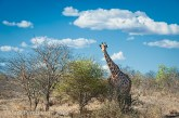 giraffe, King's Camp