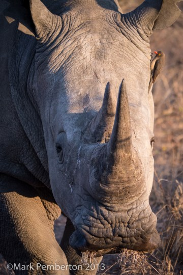 Rhino, King's Camp