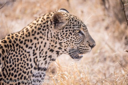 Leopard, King's Camp