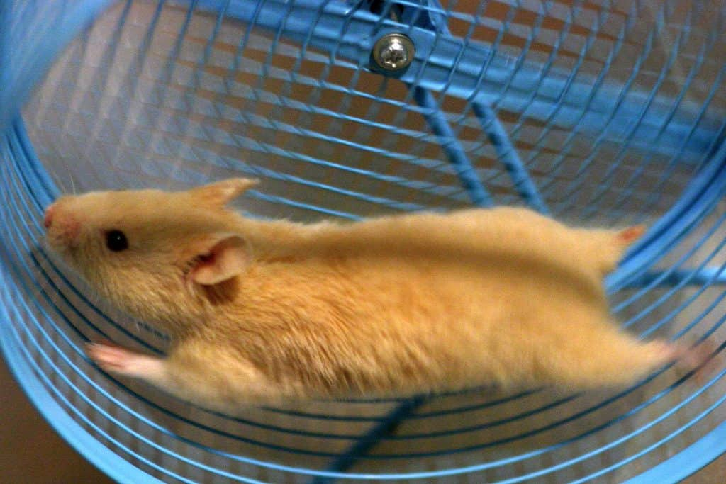 Why Do Hamsters Run In Their Wheels Quora