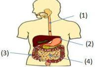 gambar organ pencernaan manusia