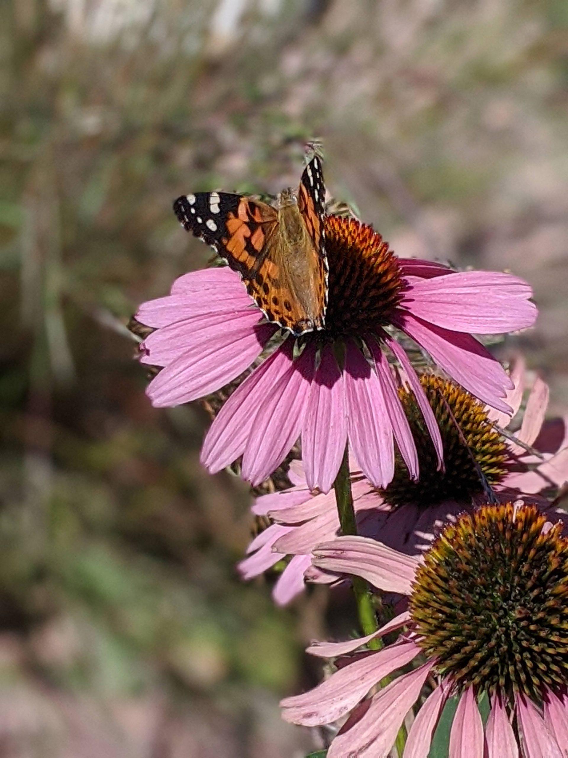 Prairie Flowers in De Smet, SD