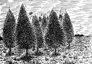 This image has an empty alt attribute; its file name is drawing-pine-tree-111.png