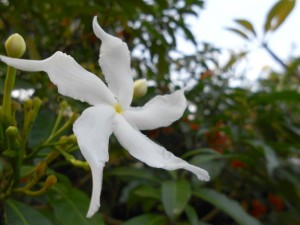 fleur blanche etoile