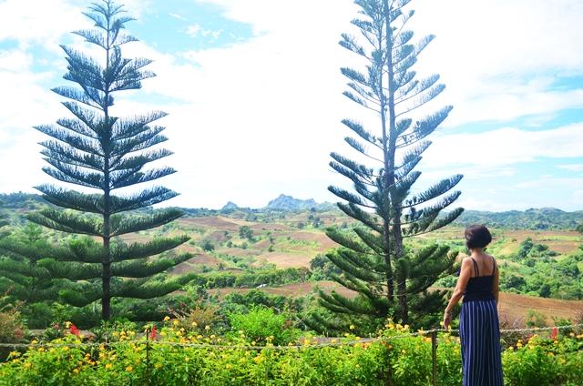Pine Trees Caleruega