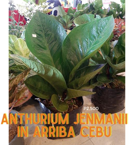 Anthurium jenmanii cardboard plant