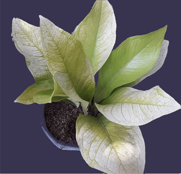 anthurium jenmanii cardboard for sale